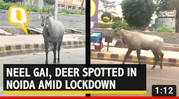 Amid Coronavirus Lockdown, Neel Gai Spotted Near GIP Mall, Deer at Noida Sector 91