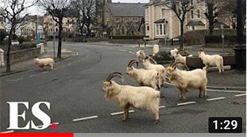 Goats take over empty Welsh town amid coronavirus lockdown