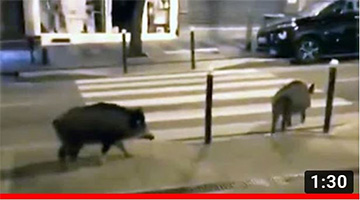 Pigs Are Taking Over the Streets of Paris